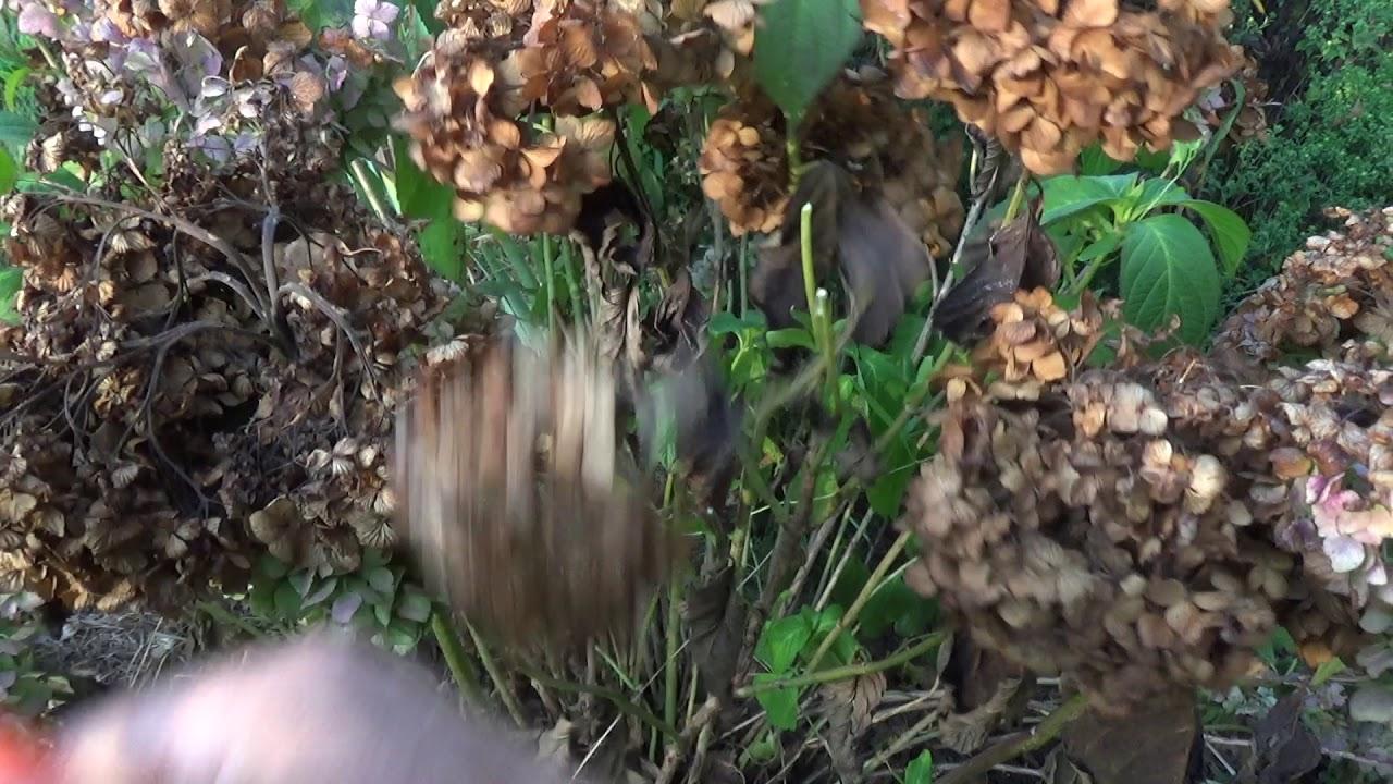 Czy Usuwac Suche Kwiaty Hortensji Youtube