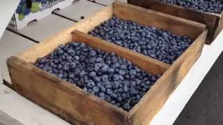 New Jersey Blueberries - DiMeo's U-Pick Blueberries Farm in Hammonton