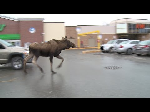 Moose On The Loose In Corner Brook