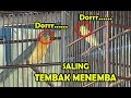 Lomba Kicau Burung Kenari Kontes Kenari Ngeroll Tanpa Ngetem Saling Tembak Menembak Di Gantangan  Mp3 - Mp4 Download