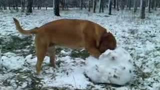Dogue De Bordeaux Puppy And A Snowball
