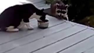 Енот объедает кота