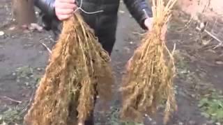 Президента Украины снова просят легализовать марихуану