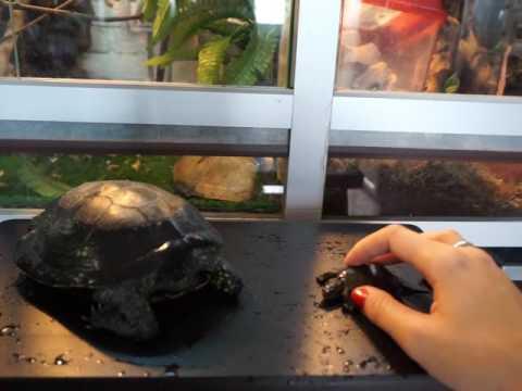 Болотные черепахи - содержание, кормление, определение пола