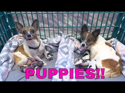 I HAVE TWO LITTERS OF CHIHUAHUA PUPPIES!