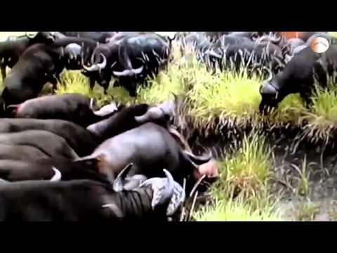 Thế Giới Động Vật: Đàn Trâu Rừng tiêu diệt Sư Tử đực