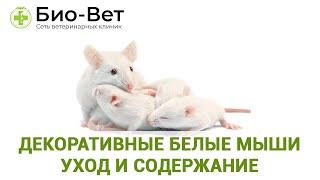 Декоративные белые мыши   уход и содержание