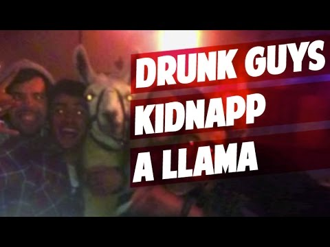 Serge The Llama Kidnapped By Drunk French In Bordeaux For A Tram