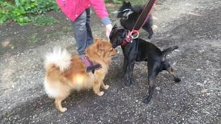 Pomeranian Vs. Belgian Schipperke Vs. Patterdale  a little breed background Fell terrier Estacado