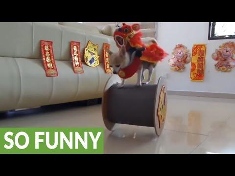 Acrobatic dog celebrates Chinese New Year