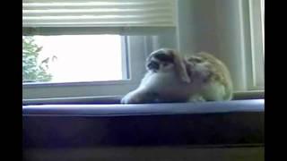 Bailey Bunny - King of the Jungle ? - Bunny Roars