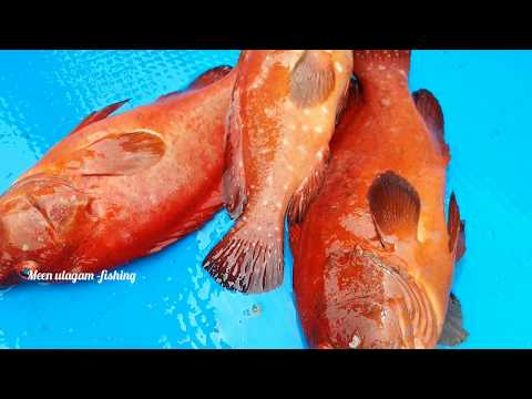 Red Grouper Fish Catching In Sea