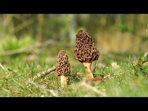 PROTIP: Morel Mushrooms & Spring Edibles