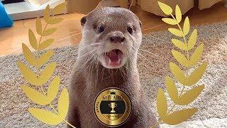 カワウソ  コタロー これまでに覚えた芸と新技を一気に見せます! Kotaro the Otter 6 Awesome Tricks