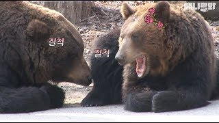 Bears having a thing going! (PDA warning)