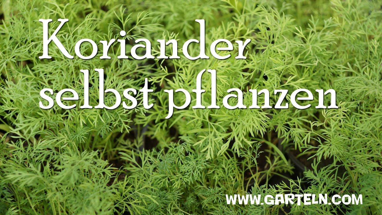 koriander selbst pflanzen youtube On koriander pflanzen