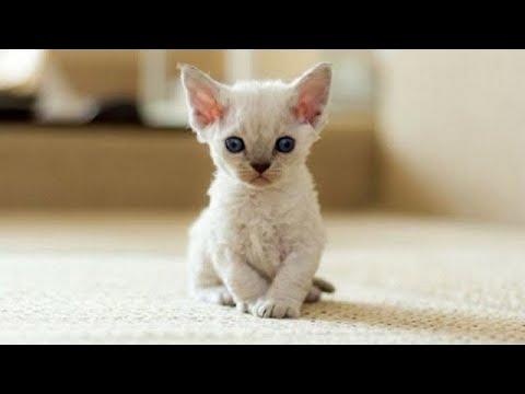 Cute Kittens Will Warm Your Heart! Cutest Devon Rex