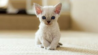 Cute Kittens Will Warm Your Heart! Cutest Devon Rex