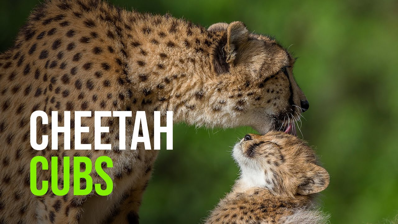 cheetah cubs on exhibit at san diego zoo safari park youtube