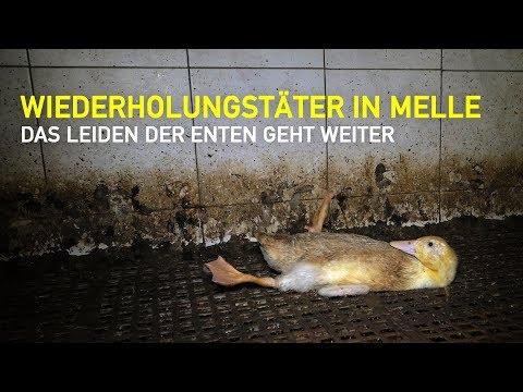 Wiederholungstäter und Tierquäler eines Enten- und Schweinemasts in Melle in Niedersachsen / PETA