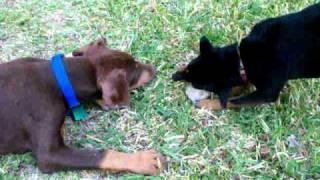 Min Pin Vs. Doberman Puppy