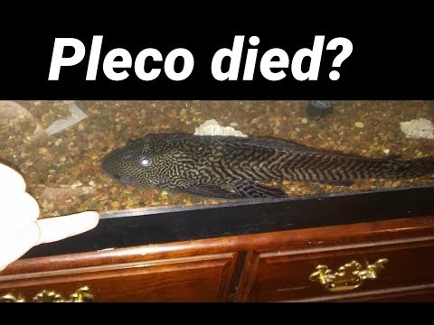 My Pleco Died? - Turning White And Dying