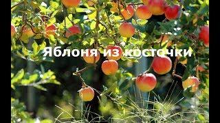 Яблоня из косточки. Как вырастить яблоню из косточки - семечка. Часть 1