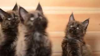 Котята мейн кун - черный солид - питомник Абсент