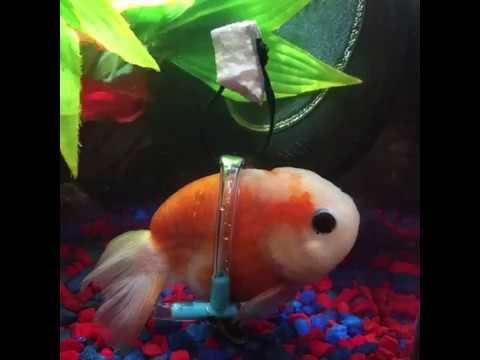 Ce poisson rouge se d place en chaise roulante youtube for Basketball en chaise roulante