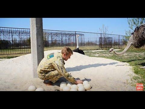 Вопрос: Что делают из ресниц страусов Как применение им находят?