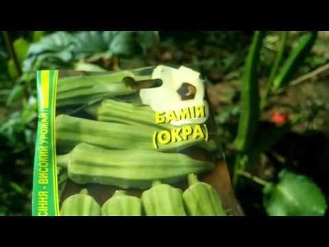 бамия растение фото