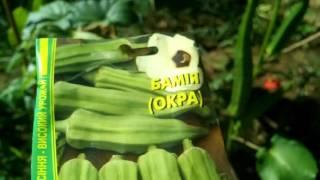видео Бамия - выращивание из семян и сбор урожая