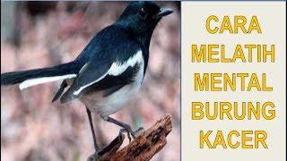 4 Cara Untuk Melatih Mental Burung Kacer