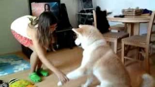 Akita Inu Training - Akihiro And Ambra