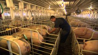 Creating the Perfect Pig