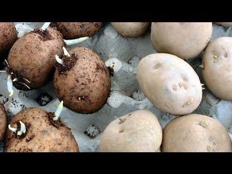 HGV Grow Potatoes  How to speed up the chitting process in seed potatoes experiment start to finish.