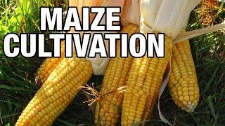 Maize Cultivation Profits and Management : Paadi Pantalu | Express TV