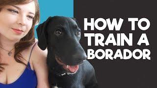 How to train a Borador Puppy (My 5 Tips & Tricks)