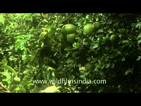 Pomelo fruit grow in Munnar town, Kerala