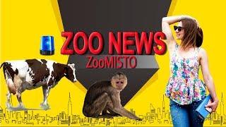 Коровы-спасатели и мама-обезьяна играет с малышом | Новости из мира животных #28 | ZooMisto