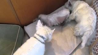 Cait And Charlie-westie Rescue Of Missouri