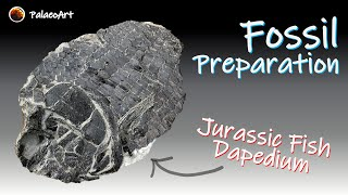 Fossil preparation - Jurassic Dapedium fish from Lyme Regis (200 million years old)