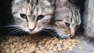 Очень няшное видео, кошки едят вискас и чавкают можно залипнуть