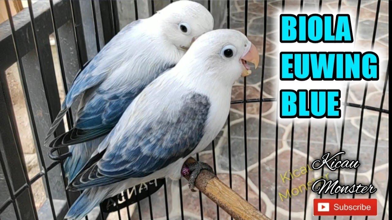 Blue Opaline Euwing Fischer Lovebirds Of Syed Ovais Bilgrami By Syed Ovais Bilgrami
