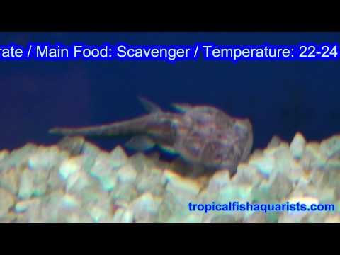 Chaca Chaca - Frogmouth Catfish