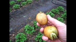 Простая посадка картофеля