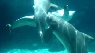 Dolphins Mating.