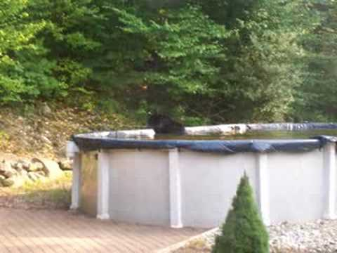Black Bear Swimming In New Jersey Pool Youtube