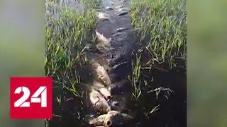 Двісті сазанів в одних руках: на рибака вилили тонни ненависті - Росія 24