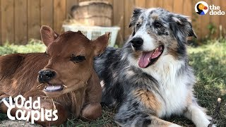 Dog Is SO Protective Of His Baby Cow Brother | The Dodo Odd Couples
